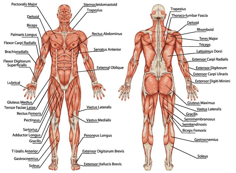 Liegestütze – Welche Muskeln werden trainiert? | Muskelaufbau